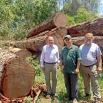 Genuine Mahogany Logs Baren Comercial